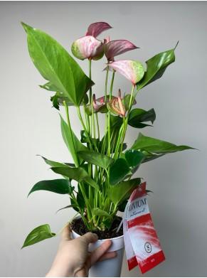Anthurium andr. Livium