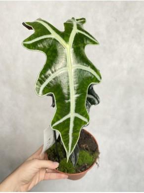 Alocasia nobilis
